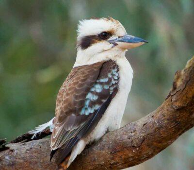 310118-kookaburra